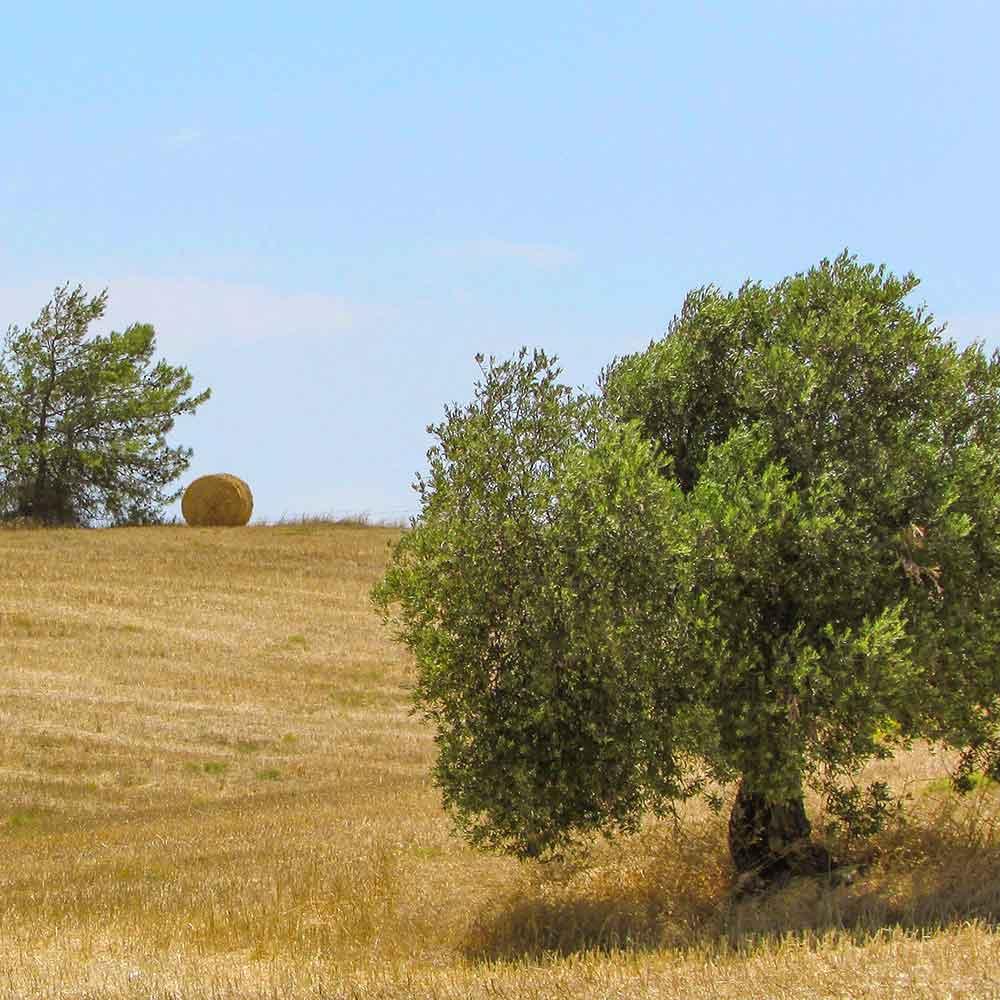 Olivo campo | Spazio Sicilia